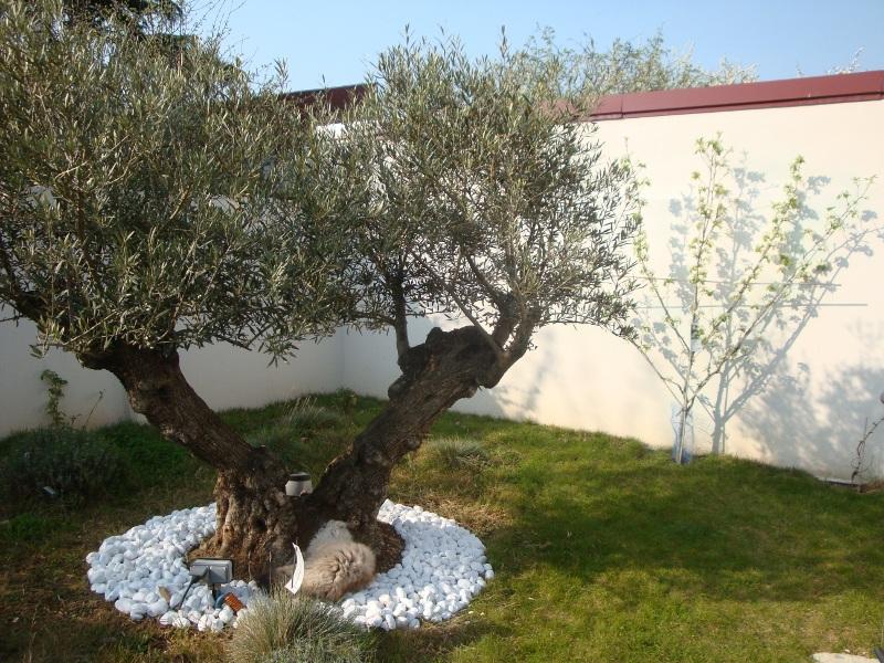 idee jardin avec olivier - le spécialiste de la décoration extérieur